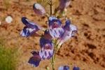 Penstemon comarrhenus, flowers